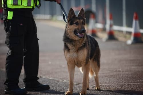 Security dog with handler